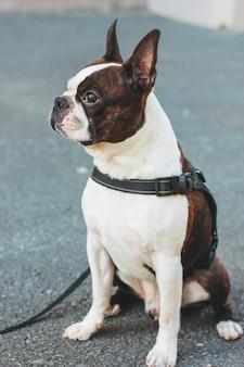 Smutny pies boston terrier siedzi na chodniku