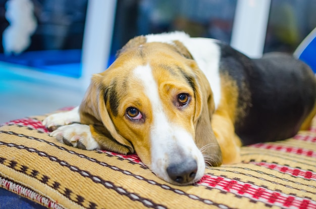 Smutny pies leżący na kanapie i czekający na swojego właściciela