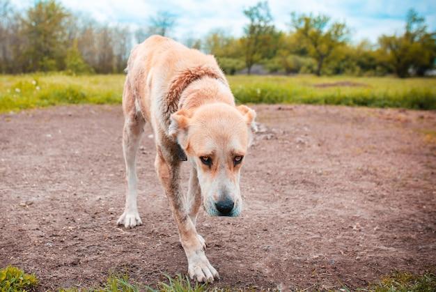 Smutny pies na łańcuchu
