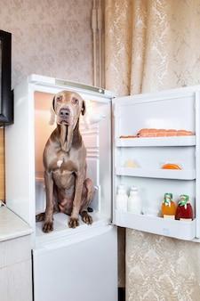 Smutny węgierski pies vizsla siedzi w lodówce