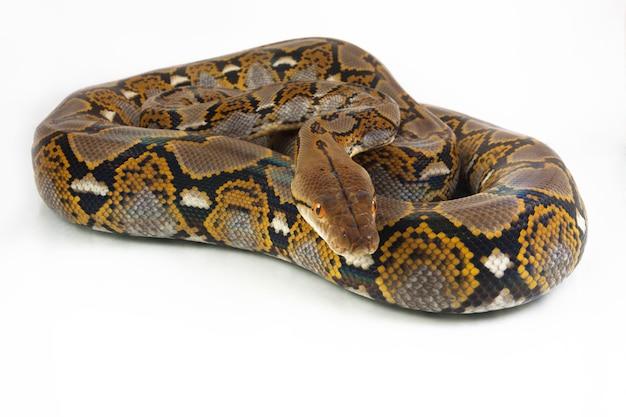 Snake python siatkowa na białym tle.