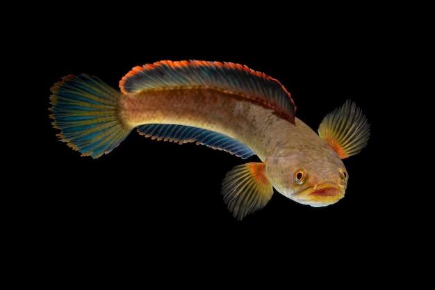 Snakehead channa ryba na czarnym tle