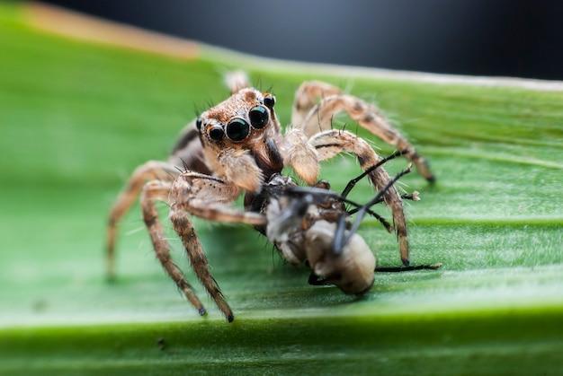 Śniadanie skaczących pająków