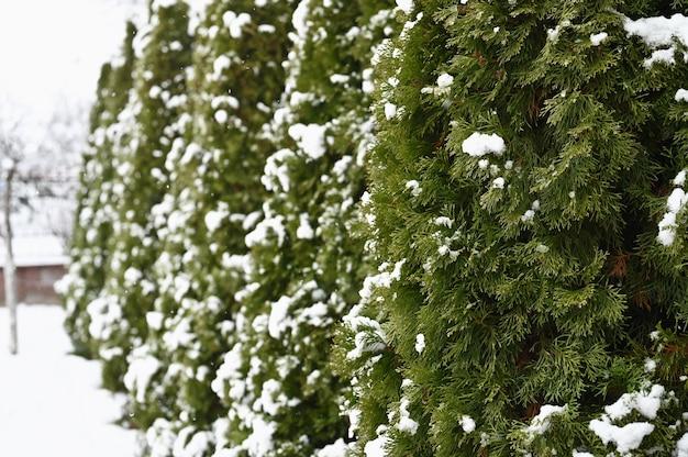 Śnieg na tuje zimą.