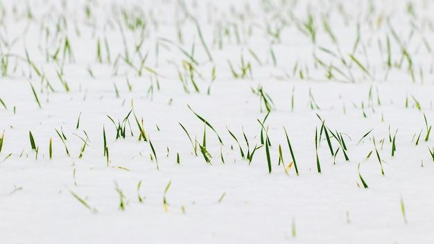 Śnieg pokrył zielone kiełki pszenicy ozimej
