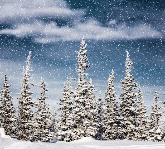 Śnieg w świerkowym lesie
