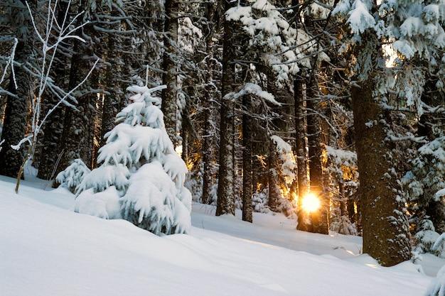 Śnieg zakrywał sosny w zima lesie
