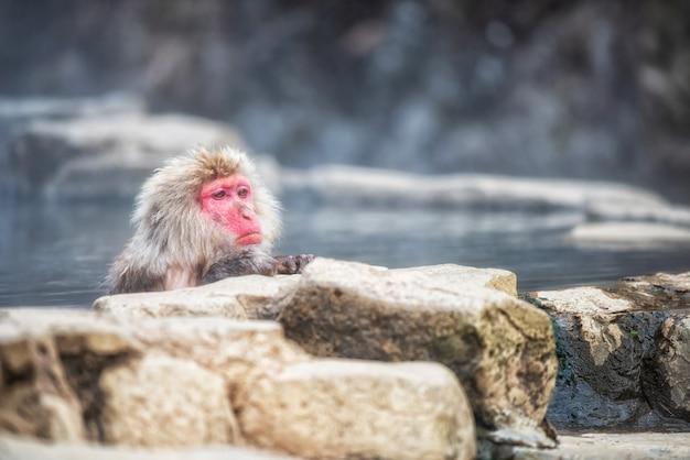 Śnieżna kąpiel małp w parku jigokudani
