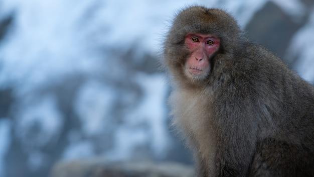 Śnieżna małpa makak japoński portret czerwonej twarzy w zimny śnieg z lodem podczas trudnej pogody. macaca fuscata w naturalnej górze nagano. zwierzę w naturalnym środowisku, japonia.