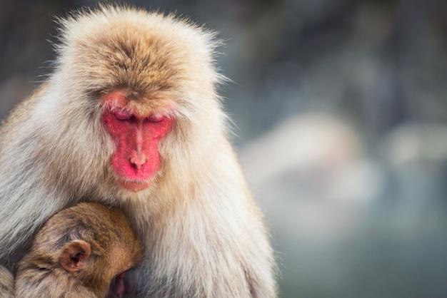 Śnieżna małpa makak matka i dziecko