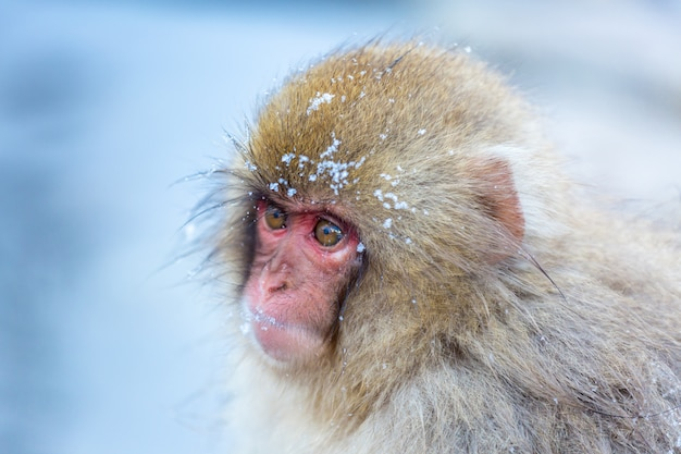 Śnieżna małpa makak onsen