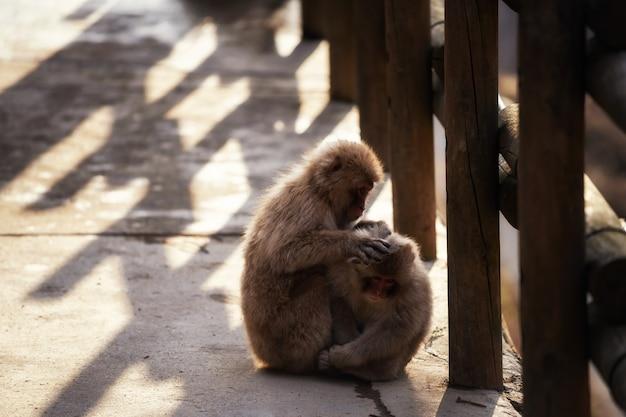 Śnieżna małpa znajduje pchły