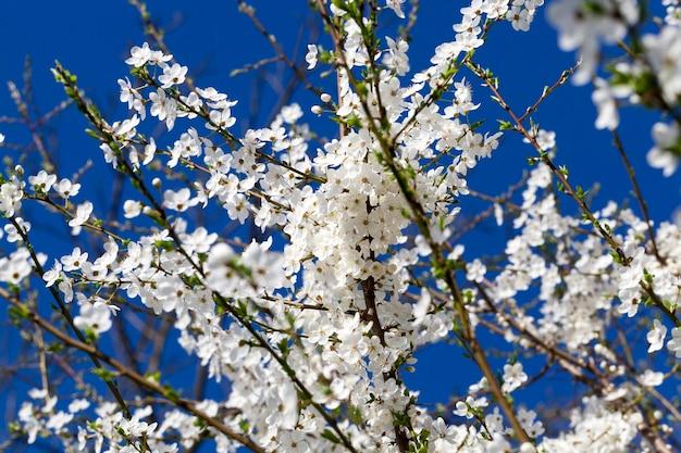 Śnieżnobiałe kwiaty wiśni na drzewie w ogrodzie, specyfika wiosennej przyrody na terenach rolniczych, kwiaty są używane dla pszczół miodnych