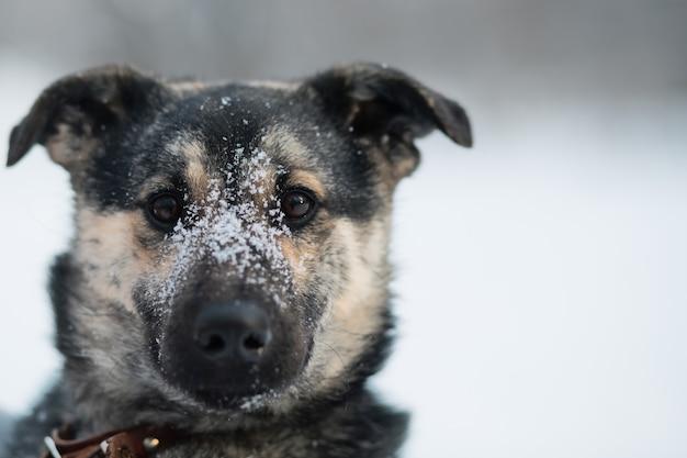 Śnieżny kundel pies siedzi w zimowym lesie. ścieśniać