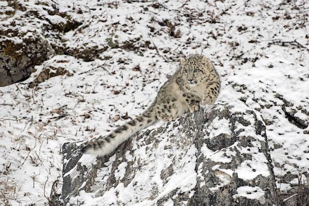 Śnieżny lampart cub przykucnął na klifie