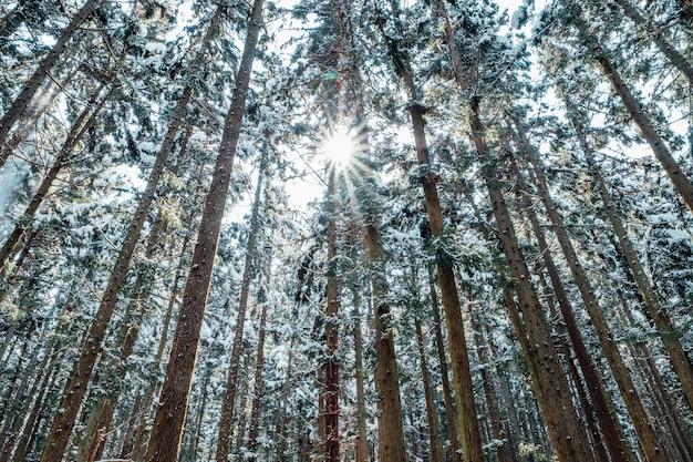 Śnieżny las w japonii