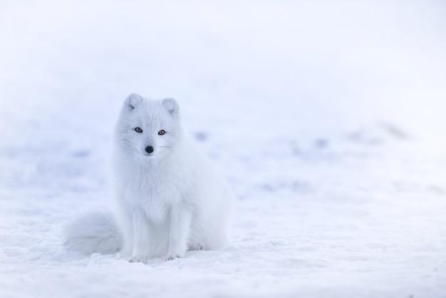 Śnieżny lis na śniegu