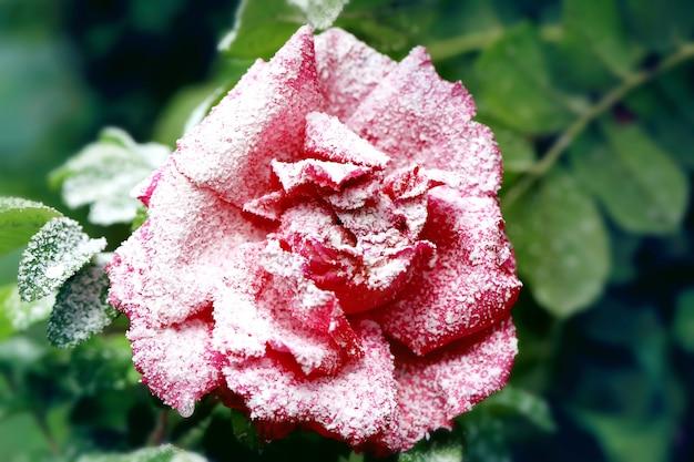 Śnieżny różany krzak z kwiatem i pączkami zima pierwszy śnieg