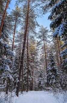 Śnieżny zimowy las w słoneczny dzień biała śnieżna ścieżka ośnieżone drzewa na tle błękitnego nieba