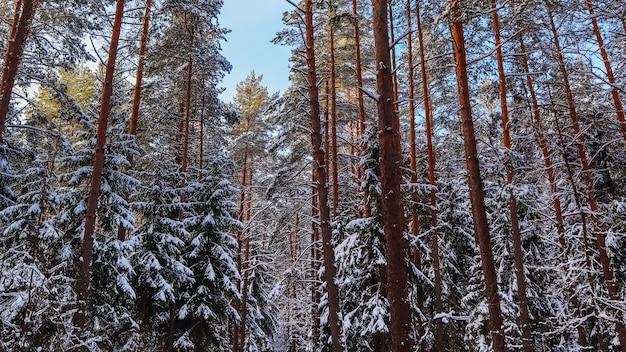 Śnieżny zimowy las w słoneczny dzień ośnieżone drzewa na tle błękitnego nieba