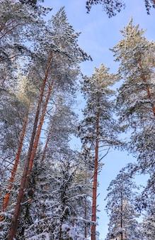 Śnieżny zimowy las w słoneczny dzień pokryty śniegiem świerki i sosny na tle błękitnego nieba