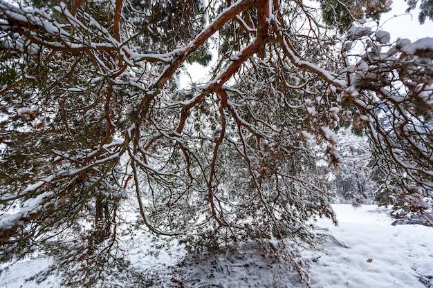 Śnieżny zimowy las z wysokimi sosnami, ośnieżonymi drzewami. zimowy bajkowy las pokryty śniegiem