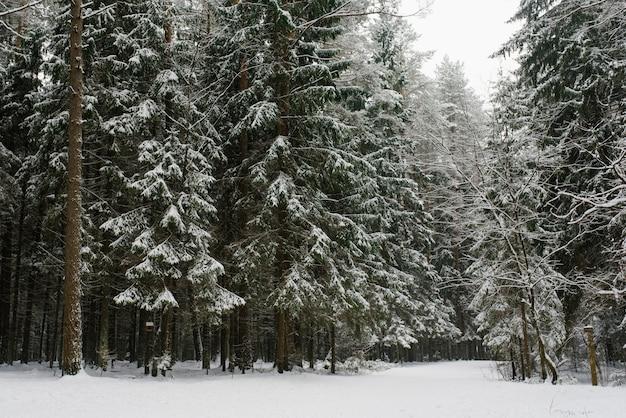 Śnieżny zimowy las