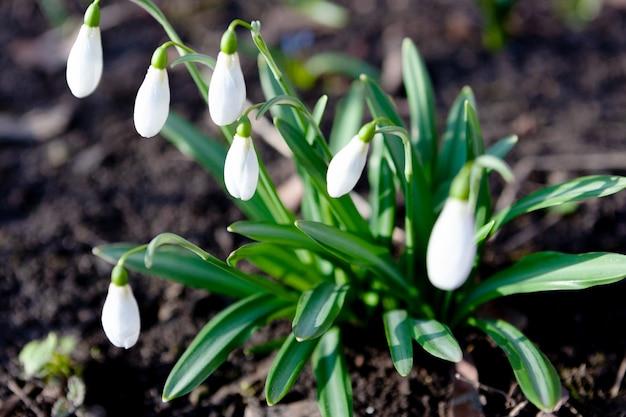Śnieżyczka galanthus nivalis. piękne kwiaty w wczesnym rankiem w wiosennym ogrodzie