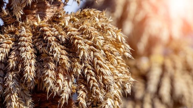 Snop pszenicy z dojrzałymi kłosami w słońcu