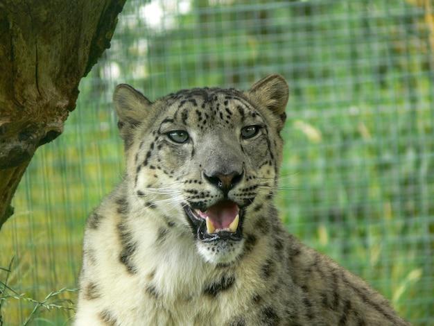 Snow leopard w środowisku zoo