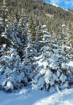 Snowy jodły lasu na zboczu góry.