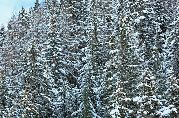 Snowy jodły na zboczu góry. tle przyrody.