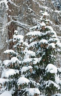 Snowy jodły z szyszek na zboczu góry.