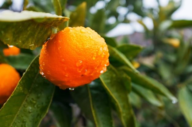 Soczysta dojrzała mandarynka na gałęzi w zielonym ogrodzie z kroplami wilgoci.
