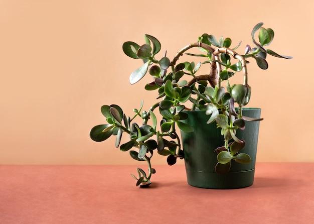 Soczysta roślina doniczkowa grubosz w doniczce