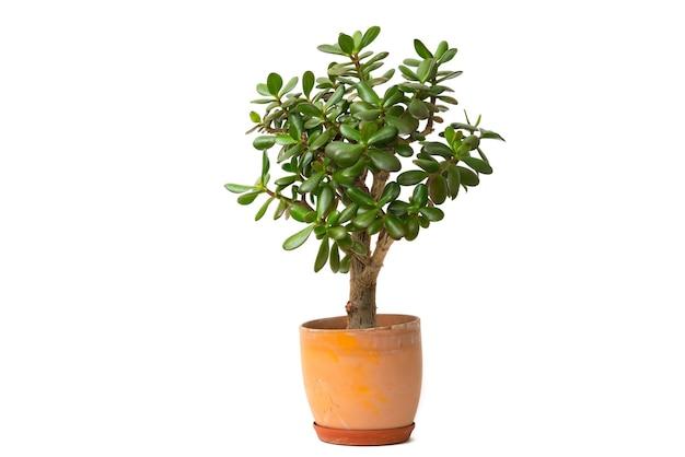 Soczysta roślina jadeitowa również drzewo pieniędzy lub drzewo szczęścia w doniczce ceramicznej na białym tle.