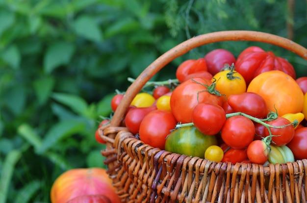 Soczyste czerwone pomidory w koszu leżącym w trawie latem. duży kosz pełen różnych pomidorów.