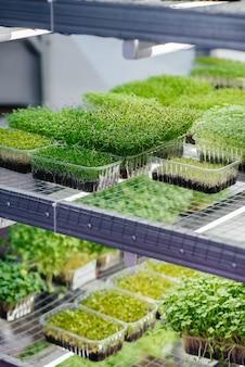 Soczyste i młode kiełki mikro zieleniny w szklarni. uprawa nasion. zdrowe odżywianie.