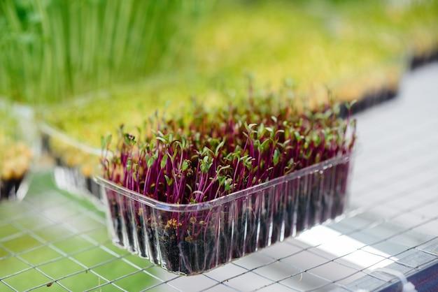 Soczyste i młode kiełki mikro zieleniny w szklarni