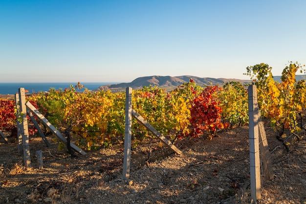 Soczyste jasne piękne krzewy winorośli w winnicy jesienią w słoneczny dzień