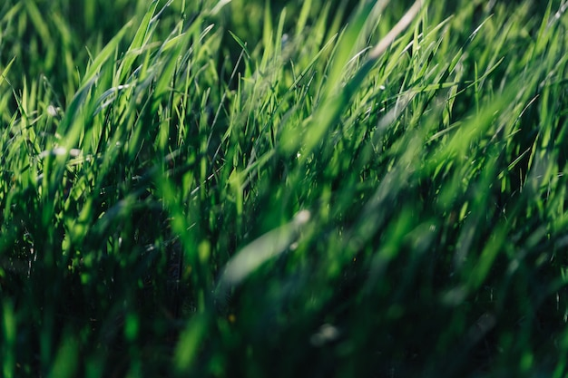 Soczyste liście zielonej trawy na tle z podświetlanym światłem słonecznym