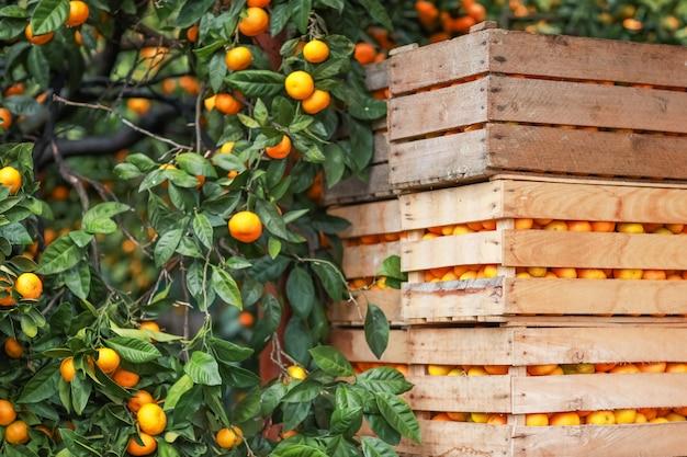 Soczyste mandarynki ułożone w drewnianych skrzyniach i gotowe do wysłania do kupującego
