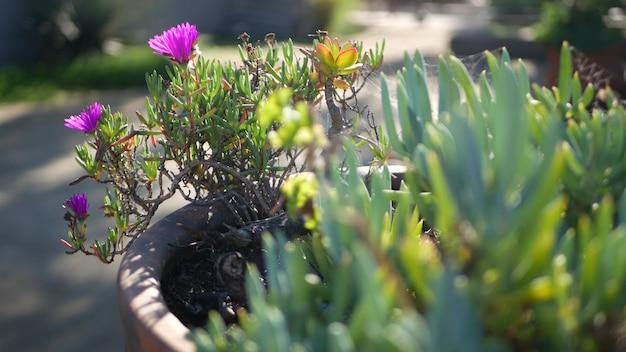 Soczyste ogrodnictwo roślin lodowych w kalifornii, usa. projekt ogrodu przydomowego. naturalne botaniczne ozdobne meksykańskie rośliny doniczkowe i kwiaty, pustynne kwiaciarstwo pustynne. spokojna atmosfera. figa kwaśna lub hottentot