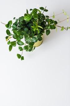 Soczyste rośliny w doniczce złota na białym tle.