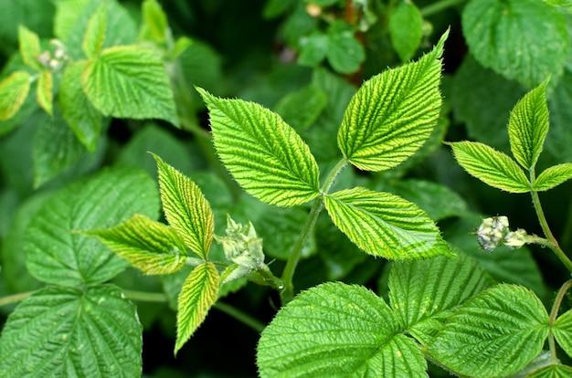 Soczyste zielone młode liście malin w kropli wody. tle kwiatów.