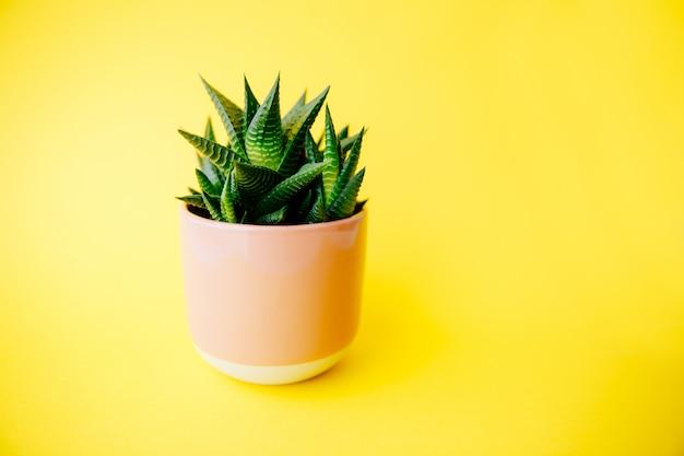 Soczysty i kaktus haworthia w różowym doniczce na jednolitym kolorze tła z miejsca na kopię. nowoczesny minimalistyczny wystrój domu.