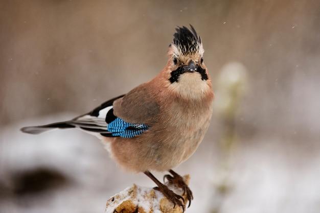 Sójka zwyczajna (garrulus glandarius) na dokarmianie ptaków zimą.