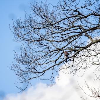 Sójka zwyczajna (garrulus glandarius) siedząca na drzewie