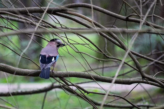 Sójka zwyczajna garrulus glandarius siedząca na gałęzi drzewa, wczesna wiosna