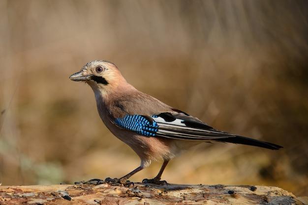 Sójka zwyczajna na karmniku dla ptaków zimowych.